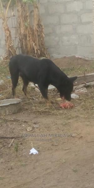 1+ Year Male Purebred German Shepherd | Dogs & Puppies for sale in Dar es Salaam, Temeke