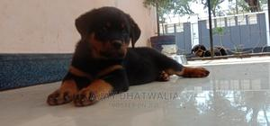 1-3 Month Male Purebred Rottweiler | Dogs & Puppies for sale in Dodoma Region, Dodoma Rural