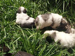 1-3 Month Male Purebred Maltese | Dogs & Puppies for sale in Kilimanjaro Region, Moshi Urban