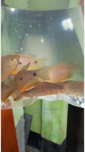 Pet Fish/ Samaki Wa Mapambo   Fish for sale in Dodoma Region, Dodoma Rural