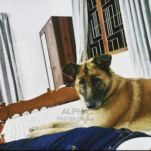 6-12 Month Male Mixed Breed German Shepherd | Dogs & Puppies for sale in Dar es Salaam, Ilala