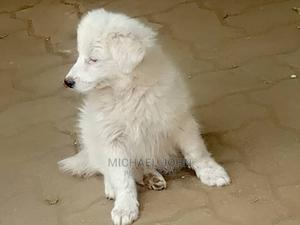 1-3 Month Female Purebred Maltese | Dogs & Puppies for sale in Arusha Region, Arusha