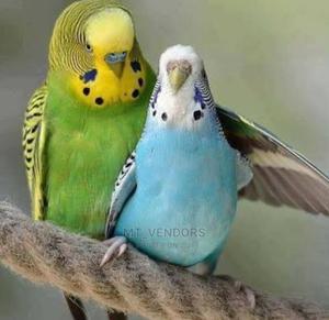 BUDGIES (Parrots) | Birds for sale in Dar es Salaam, Ilala