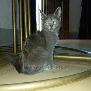 1-3 Month Male Purebred Russian Blue | Cats & Kittens for sale in Dar es Salaam, Kinondoni