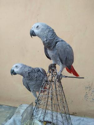 African Grey Parrots | Birds for sale in Dar es Salaam, Ilala