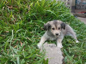 3-6 Month Male Purebred Japanese Spitz | Dogs & Puppies for sale in Dar es Salaam, Ilala