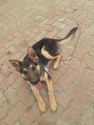 3-6 Month Male Mixed Breed German Shepherd | Dogs & Puppies for sale in Arusha Region, Arusha