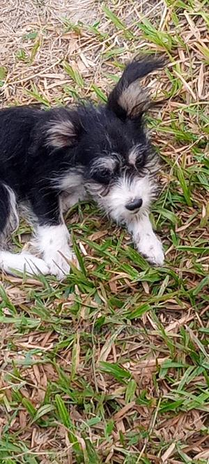 3-6 Month Male Purebred Maltese | Dogs & Puppies for sale in Dar es Salaam, Ilala