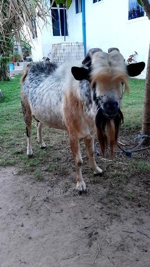 Mbuzi _Beberu Wa Heshima   Other Animals for sale in Dar es Salaam, Temeke