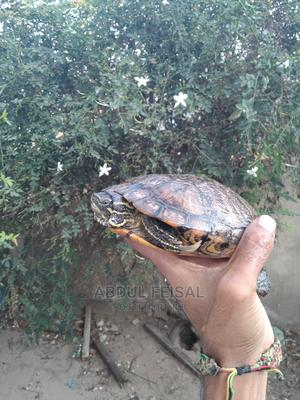 Red Necked Slider   Reptiles for sale in Dar es Salaam, Ilala