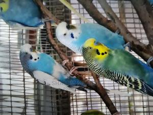 Budgies for Sale Pair for 135 | Birds for sale in Dar es Salaam, Ilala