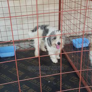 1+ Year Male Purebred Maltese | Dogs & Puppies for sale in Dar es Salaam, Kinondoni