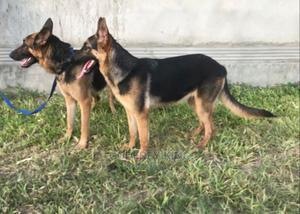 6-12 Month Female Purebred German Shepherd | Dogs & Puppies for sale in Dar es Salaam, Kinondoni