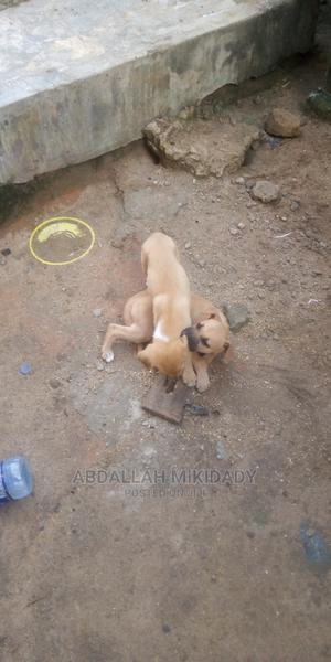 1-3 Month Male Mixed Breed German Shepherd | Dogs & Puppies for sale in Dar es Salaam, Temeke